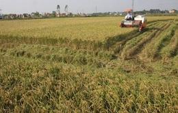 Hiệu quả từ mô hình mở rộng cánh đồng lớn gắn với tiêu thụ