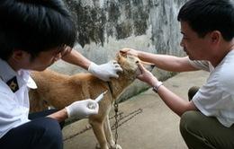 Tiêm vaccine phòng dại thấp, nguy cơ bệnh dại trên người tăng cao