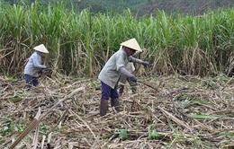 Nông dân e ngại đầu tư vùng nguyên liệu mía