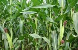 Phát triển sản xuất ngô gắn với chuyển đổi cơ cấu cây trồng các tỉnh phía Bắc