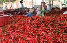 """Thừa Thiên Huế: DN """"bội tín"""", hàng nghìn hộ dân trồng ớt điêu đứng"""