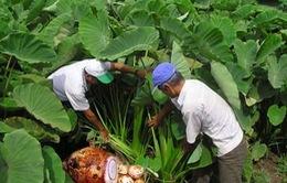 An Giang: Nông dân phấn khởi vì trúng mùa khoai môn