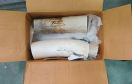 Bắt giữ 14,6kg ngà voi châu Phi vận chuyển trái phép