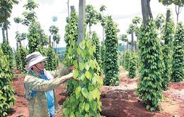Giá hồ tiêu tăng, người dân Đăk Nông liên tục mở rộng diện tích
