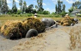 Vỡ đê tại Đồng Tháp: Nước lũ lên, người dân không thu hoạch được lúa