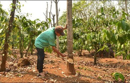 Giá cao su sụt giảm, người dân Đăk Nông chặt bỏ hơn 400ha