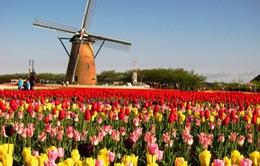 Đến Hà Lan thưởng ngoạn lễ hội hoa tulip