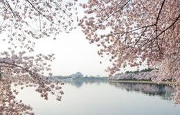 Ngắm vẻ đẹp hoa anh đào tại Washington D.C