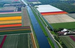 Ngắm cánh đồng tulip tuyệt đẹp ở Hà Lan