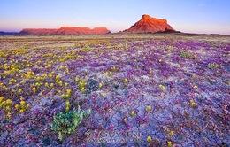 Tuyệt đẹp sa mạc hoa dại ở cao nguyên Colorado, Mỹ