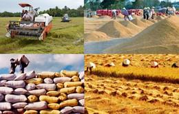 Giao thu mua tạm trữ lúa gạo về địa phương: Khó giai đoạn chuyển giao