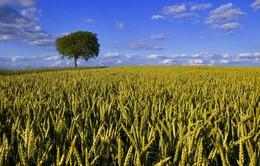 Cỏ mạch - Hy vọng mới cho an ninh lương thực thế giới