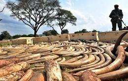 Hải quan Bỉ tiêu hủy 1,5 tấn ngà voi lậu