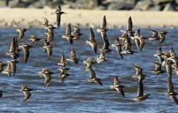 Chim di cư thu hút khách du lịch đến Peru