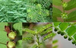 Điều trị một số bệnh về gan bằng cỏ cây tự nhiên
