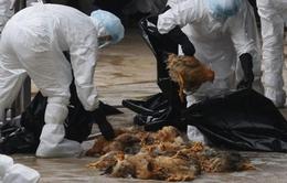 H5N1 ở Campuchia độc tính cao hơn trước