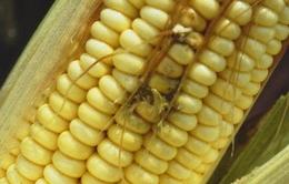 Phát hiện thức ăn gia súc có chất gây ung thư tại Đức