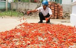 Người dân khốn khổ vì ớt chết hàng loạt
