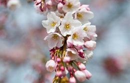 Mùa Xuân với sắc hoa anh đào tại Washington