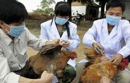 Dịch cúm gia cầm tiếp tục được khống chế