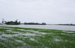 Khó khăn đối phó với ngập úng lúa tại Phú Yên