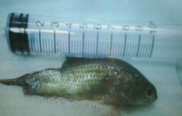 Thoát chết sau tai nạn hi hữu với cá rô