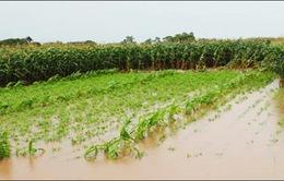 Thái Bình tiêu úng bảo vệ lúa, hoa màu sau mưa bão