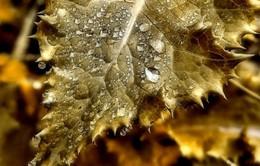 Chuyện lạ: Cây mọc ra... vàng