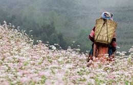 Độc đáo mùa tam giác mạch ở Đồng Văn