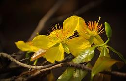 Cây Hoàng mai - Đặc sản xứ Huế