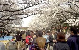 Hoa anh đào nở rộ trên khắp đường phố Tokyo
