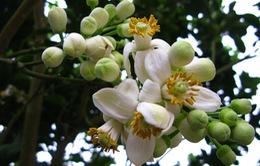 Mùa hoa bưởi