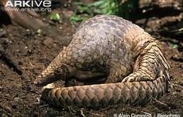 Loài Tê tê trước nguy cơ tuyệt chủng