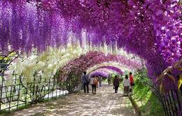 Lễ hội Hoa Tử Đằng - Fuji Matsuri tại Hà Nội