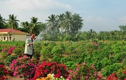 Hoa kiểng Chợ Lách rộn ràng đón Tết