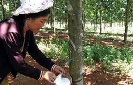 Giảm nghèo từ mô hình trồng cao su vùng miền núi