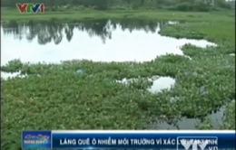 VIDEO: Làng quê Quảng Nam ô nhiễm vì xác lợn tai xanh