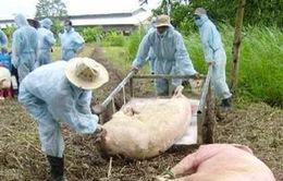 Cấp 20.000 liều vắc-xin phòng bệnh lợn tai xanh ở Đắk Nông