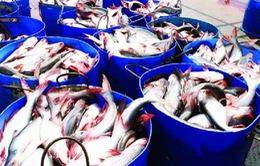 Chi phí đầu vào tăng, người nuôi cá tra lỗ nặng