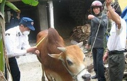 Xuất hiện bệnh lở mồm long móng ở Hà Tĩnh