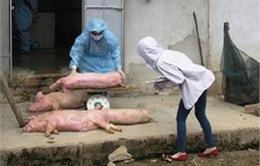 Hà Tĩnh: Nông dân khốn đốn vì dịch lợn tai xanh