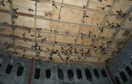 Hàng nghìn chim yến bị chết vì H5N1