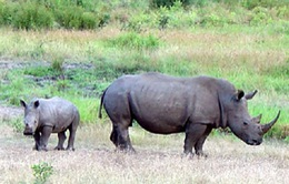 """Bảo vệ loài tê giác bằng phương pháp """"độc"""""""