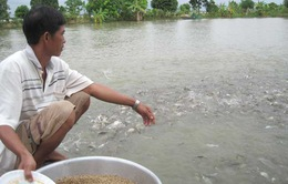 Số hộ nuôi cá tra thua lỗ ngày càng tăng