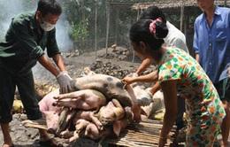 Dịch lợn tai xanh tái phát tại miền Bắc