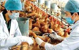 Chưa phát hiện virus A/H7N9 trên gia cầm