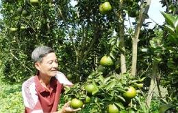 Hậu Giang: Trái cây nghịch vụ được giá