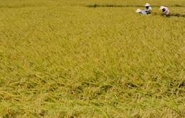 Khuyến khích nông dân trữ lúa giống theo kỹ thuật mới