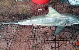 Lại bắt được cá mập tại biển Quy Nhơn