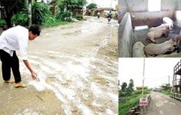 Nam Định: Người chăn nuôi lao đao vì dịch lợn tai xanh